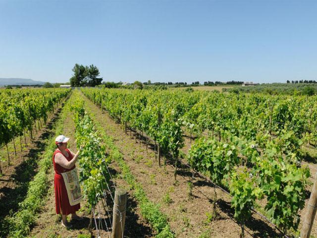 Wijngaard - Agriturismo I Vigneti - Olmedo - Sardinië