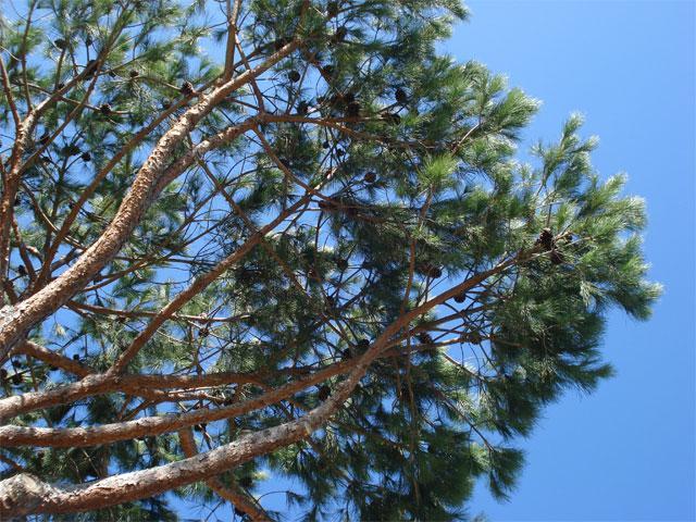 Pijnbomen - Cala Verde - Zuid Sardinië